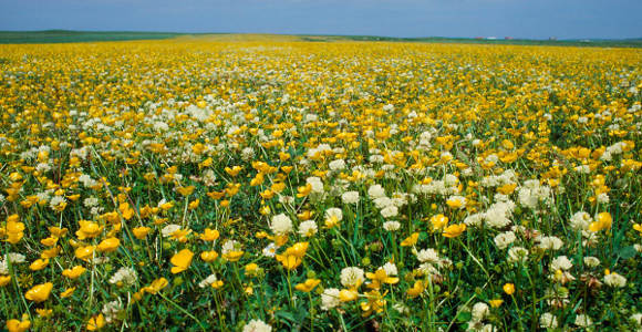 Machair in Bloom